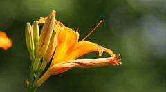 Yellow flower in summer against blurred background, close-up Stock Footage