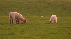 Scottish Lambs Stock Footage