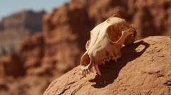 Animal Skull at Goblin Valley State Park Utah Locked Close Up Stock Footage