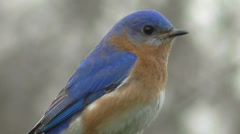 Male Eastern Bluebird (Sialia sialis) with a worm - stock footage