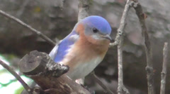 Male Eastern Bluebird (Sialia sialis) on a perch Stock Footage