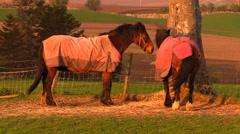 Scottish horses at sunset Stock Footage