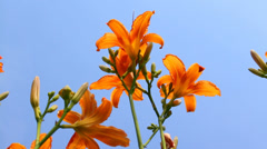 Bright orange flowers against clear sky background in summer, calm atmosphere Stock Footage