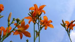 Calm shot of a group of blossoms against blue sky background, camera moving Stock Footage