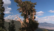 Stock Video Footage of Bristle Cone Pine