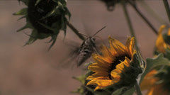 Hawk Moth on Sunflower Stock Footage