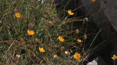 Subalpine Buttercups Stock Footage