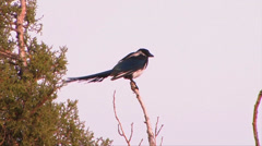 Magpie in the Great Basin Stock Footage