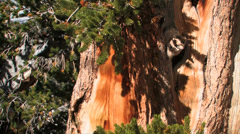 Bristle cone pine tree Stock Footage