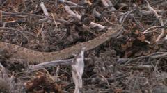 Great Basin Rattlesnake - stock footage
