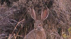 Jack Rabbit in Great Basin Nevada Stock Footage