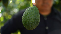 Picking avocados tropical fruit - stock footage