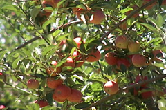 Apples Production SD-06 Stock Footage