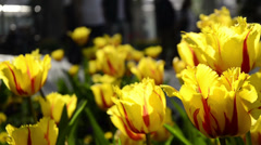 Gulhane Park, Istanbul, people are walking in the park, beautiful yellow tulips Stock Footage