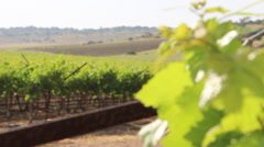 Change focus vineyards leafs Stock Footage