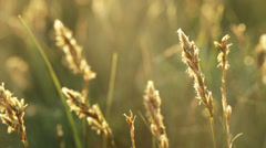 Spikelets at sunset Stock Footage