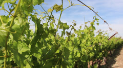 Rows of young  fresh vines vineyard  Stock Footage