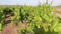 Israeli vineyard designated for the production of wine Stock Footage