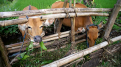 Cow in bamboo stall Senaru, Lombok,  Indonesia Stock Footage