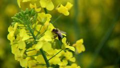 Bee and Rapeseed.mp4 Stock Footage