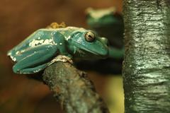 Curious Chinese Gliding Frog Sitting on a Tree Branch - stock photo