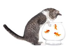 Kitten Watching Fish Swim With Paws on Aquarium Stock Photos