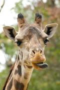 Funny Giraffe With Tongue Out - stock photo