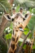 Hilarious Giraffe With Tongue Out - stock photo
