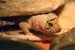 Gecko Shedding - stock photo