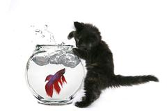 Funny Cat Trying to Catch a Fish - stock photo
