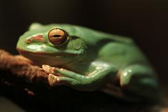 Closeup of A Chinese Gliding Frog With Eyes Closed - stock photo