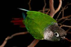 Inquisitive Green Cheek Conure - stock photo