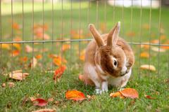 Brown Bunny Preening Himself Outdoors - stock photo