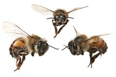 3 Different Angles of a North American Honey Bee Stock Photos