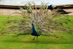 Male peacock in park Stock Photos