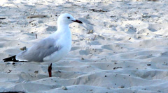 Seagull at the Beach Stock Footage