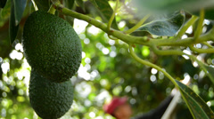 Avocado hass at harvest Stock Footage