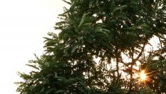 Sunshine star flare Glimmering through Agasta leaves tree in windy. Stock Footage