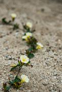 The white-yellow morning glory flower on the sand Stock Photos