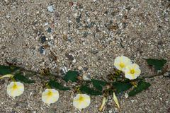 the white-yellow morning glory flower on the sand - stock photo
