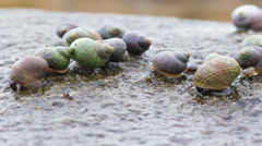 Colorful sea snails traveling on the Icelandic coastline  Stock Footage