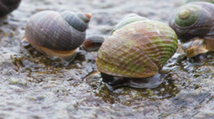Colorful sea snails on the Icelandic coastline close up Stock Footage