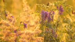 Purple blossoms of wild flower with dew drops in the meadow in the morning Stock Footage