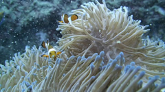 Underwater, a beautiful shot of Clown Fish in an Anemone - stock footage