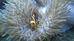 Underwater, a beautiful shot of Clown Fish in an Anemone Stock Footage