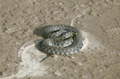 coiled viper on wet river bank sand - stock photo