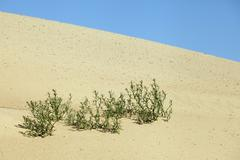Plants growing in the sand adapted to the hot climate Stock Photos