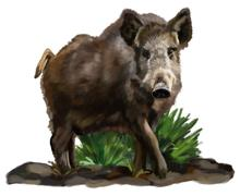 Stock Illustration of wild boar in grass on a white background