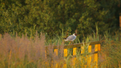 Black head gull in nature near the river in summer, flies away Stock Footage