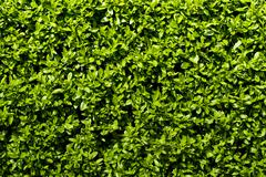 Stock Photo of deep green hedge